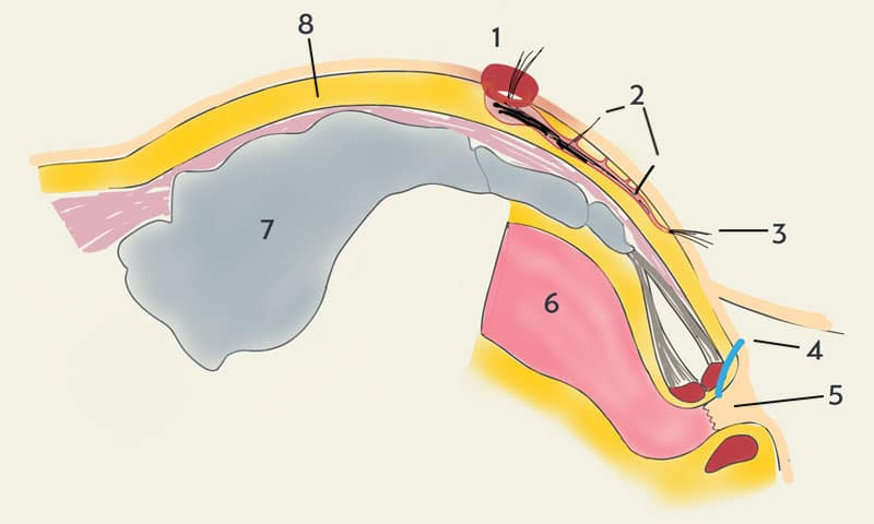 Schematic drawing of a coccyx